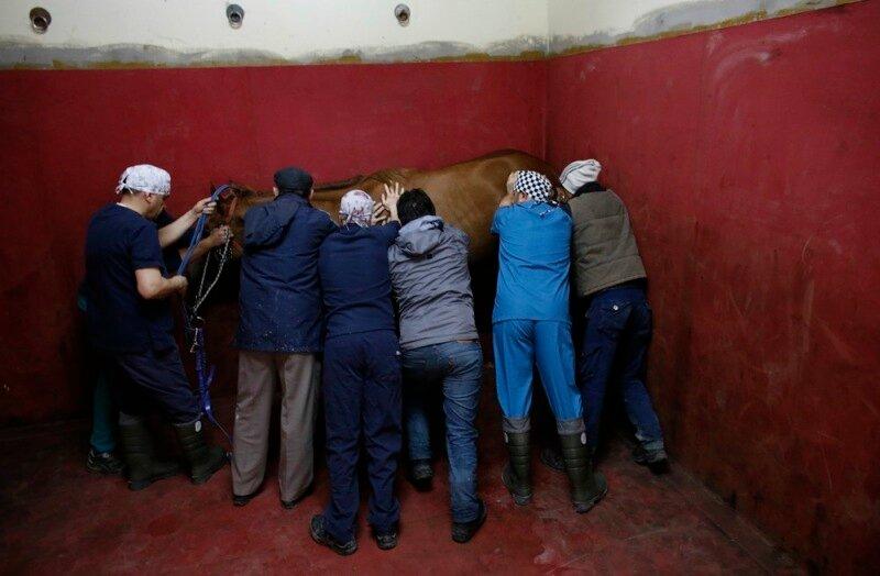 Как в Стамбуле лечат скаковых лошадей