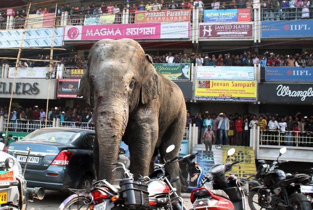 Indian bystanders watch as a wild elephant walks along a busy street in Siliguri on February 10, 201
