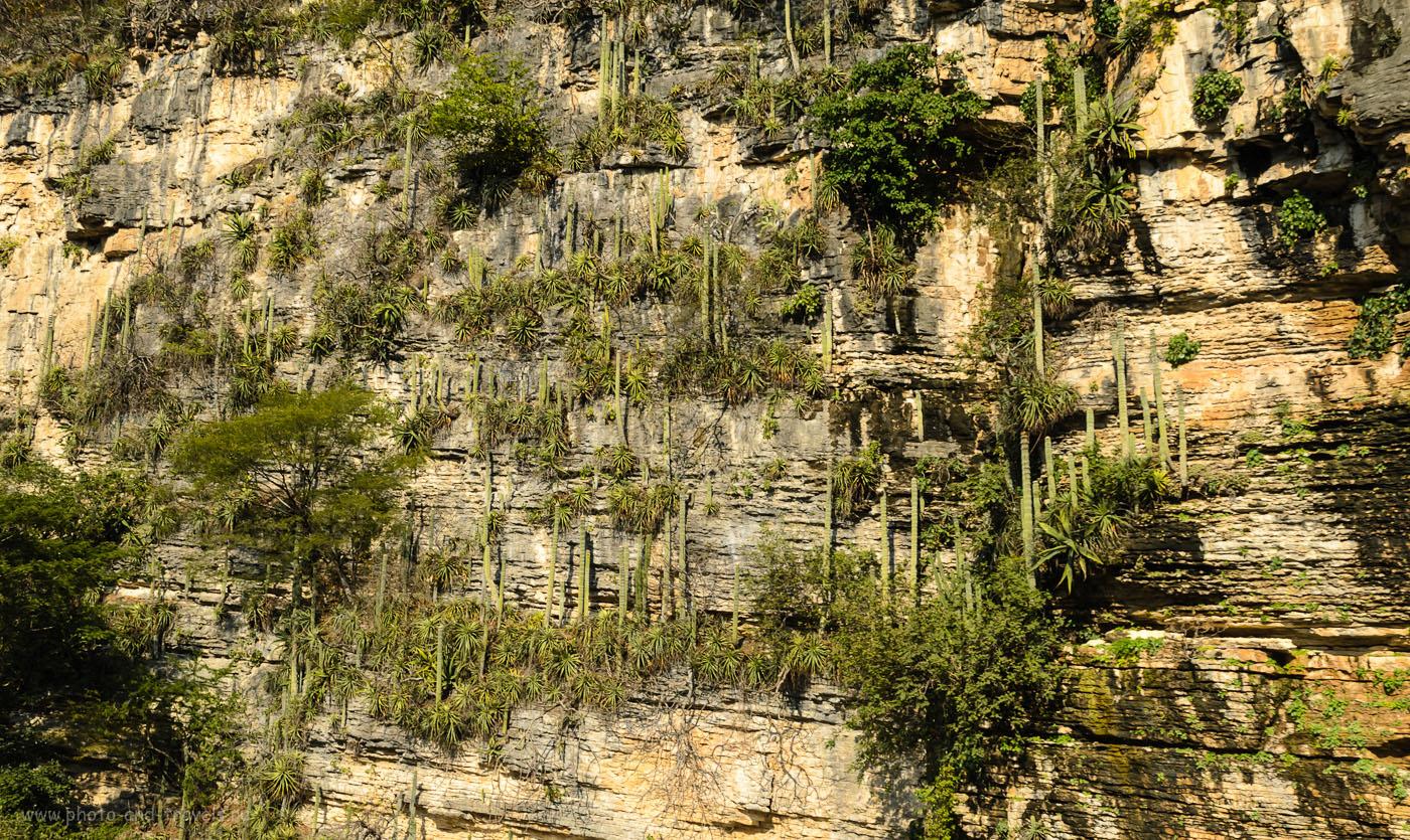 14. Кактусы на стенах каньона Сумидеро. Отзыв о туре в Мексику в ноябре 2012