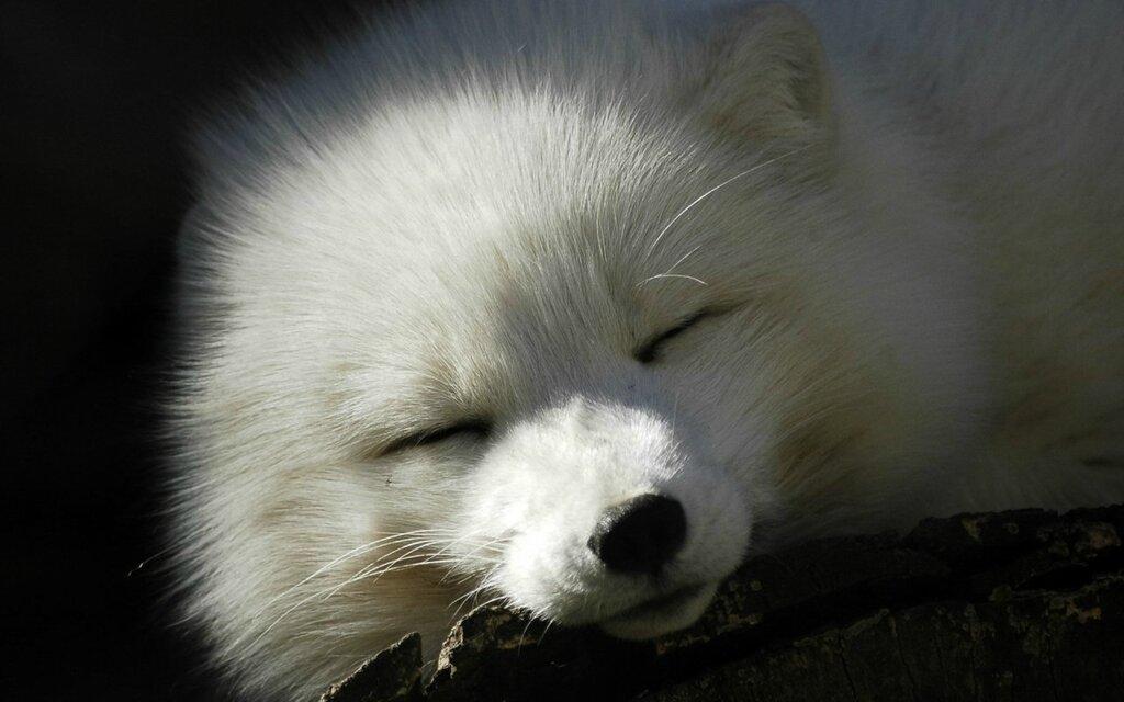 1273329-arctic-fox.jpg