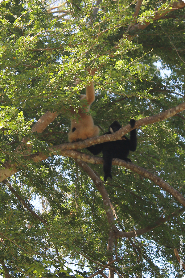 Обезьяны на дереве в зоопарке Кхао-Кхео