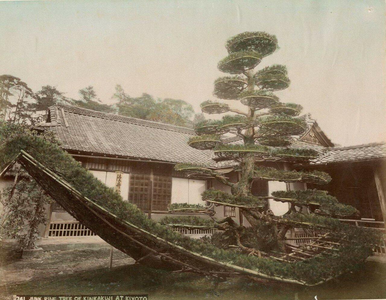 Киото. Сосна из храма Кинкаку-дзи