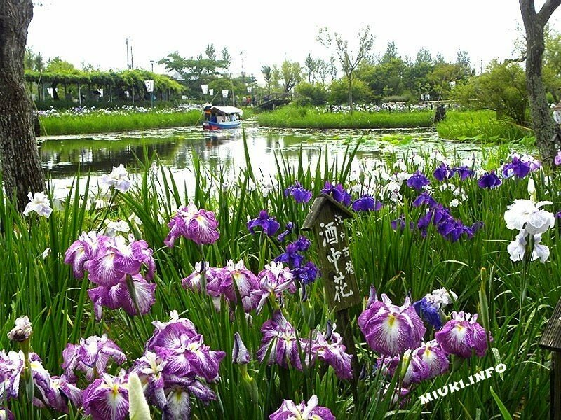 Суйго Савара (Suigo Sawara) - водный сад ирисов в Японии