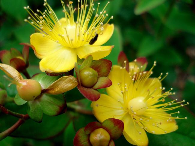 гіперікум жовтий
