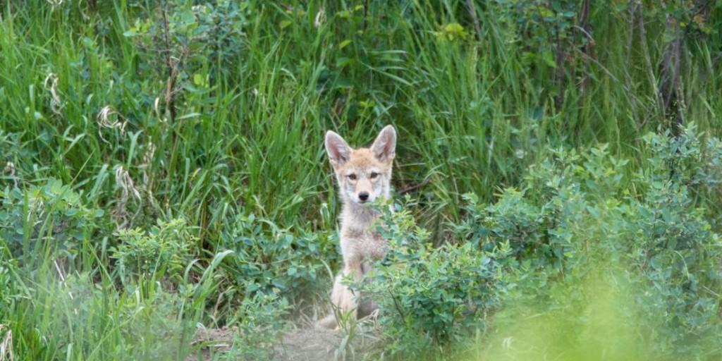 1. Чарльз Моро сфотографировал этого щенка койвольфа в Альберте, Канада. Успехи койвольфов поражают