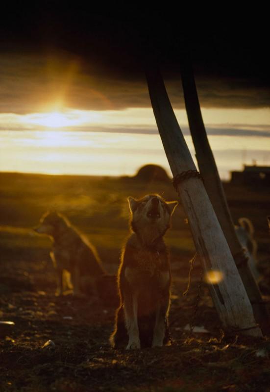 Ездовая собака, привязанная к своеобразному шесту из ребра кита, воет на полуночное солнце, Аляска,