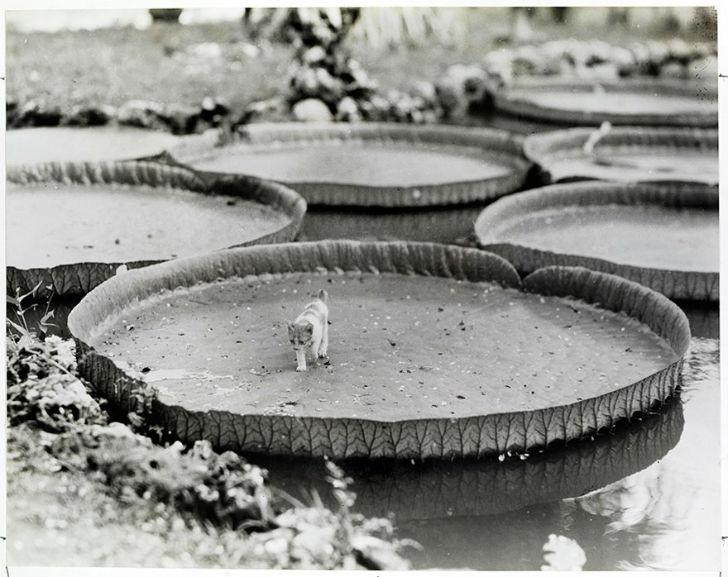 Котенок на листьях виктории (водные растения, которые имеют огромные листья и крупные цветы), Филипп