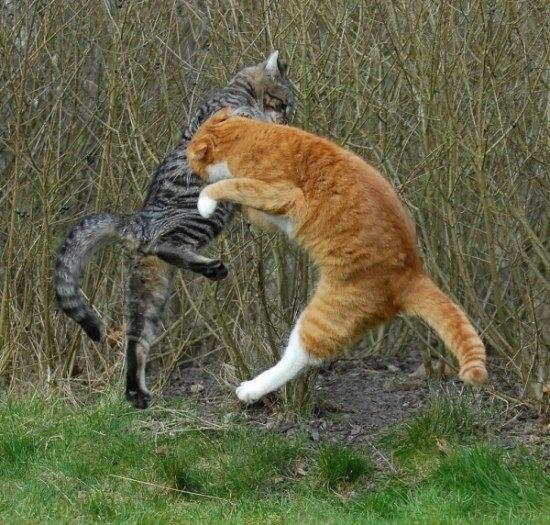 Битва котов