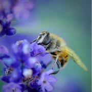 Пчела на синих цветах