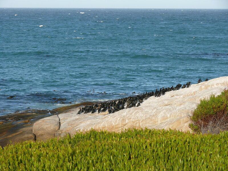 ЮАР, Кейптаун, Мыс Доброй Надежды, пингвины