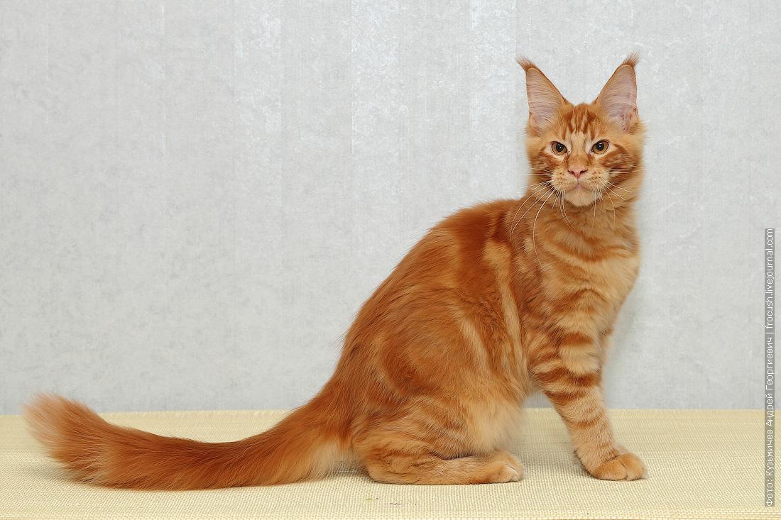красный мейн кун котенок
