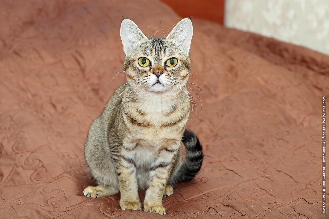 Бомбейская кошечка нетрадиционного окраса