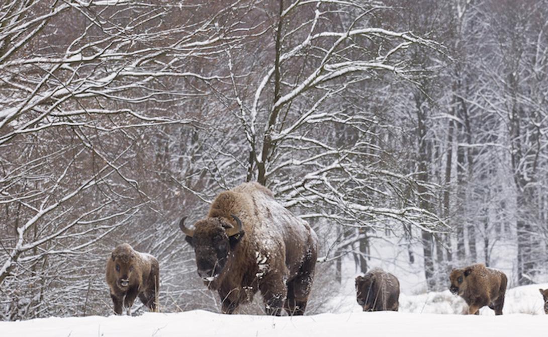 На границе между Польшей и Беларусью расположен знаменитый Беловежский национальный парк. Именно зде