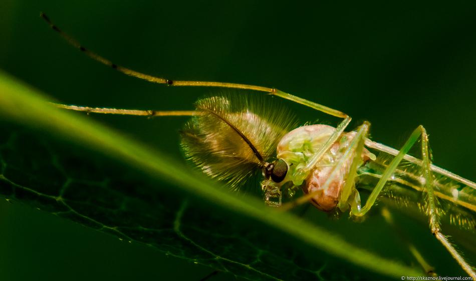 Это существо, похожее на микроскопическую осу, очень забавно сидело на миллиметровой тростинке, что