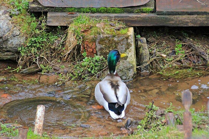 Селезень купается в небольшом ручейке