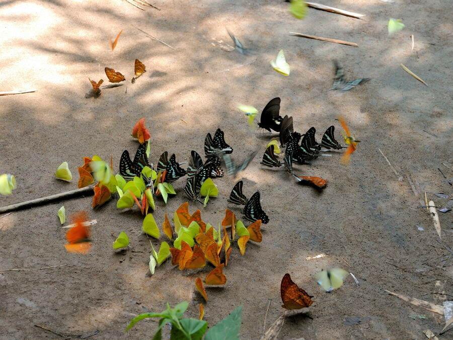 Бабочки Сулавеси