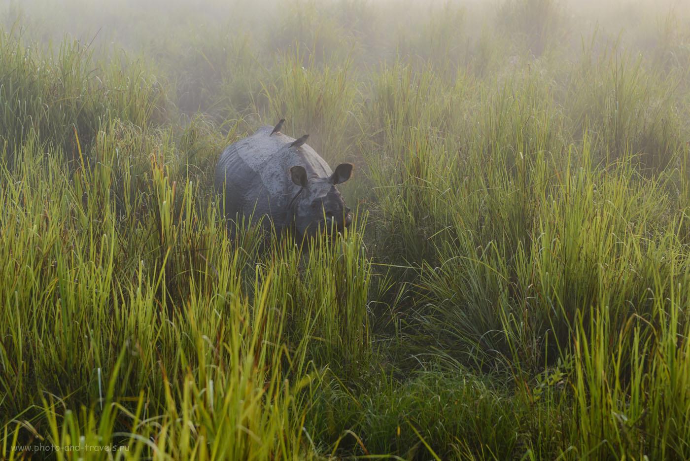 Носорог в индийском заповеднике Kaziranga National Park. Сфотографировал его во время слоновьего сафари в штате Ассам в ноябре 2015.