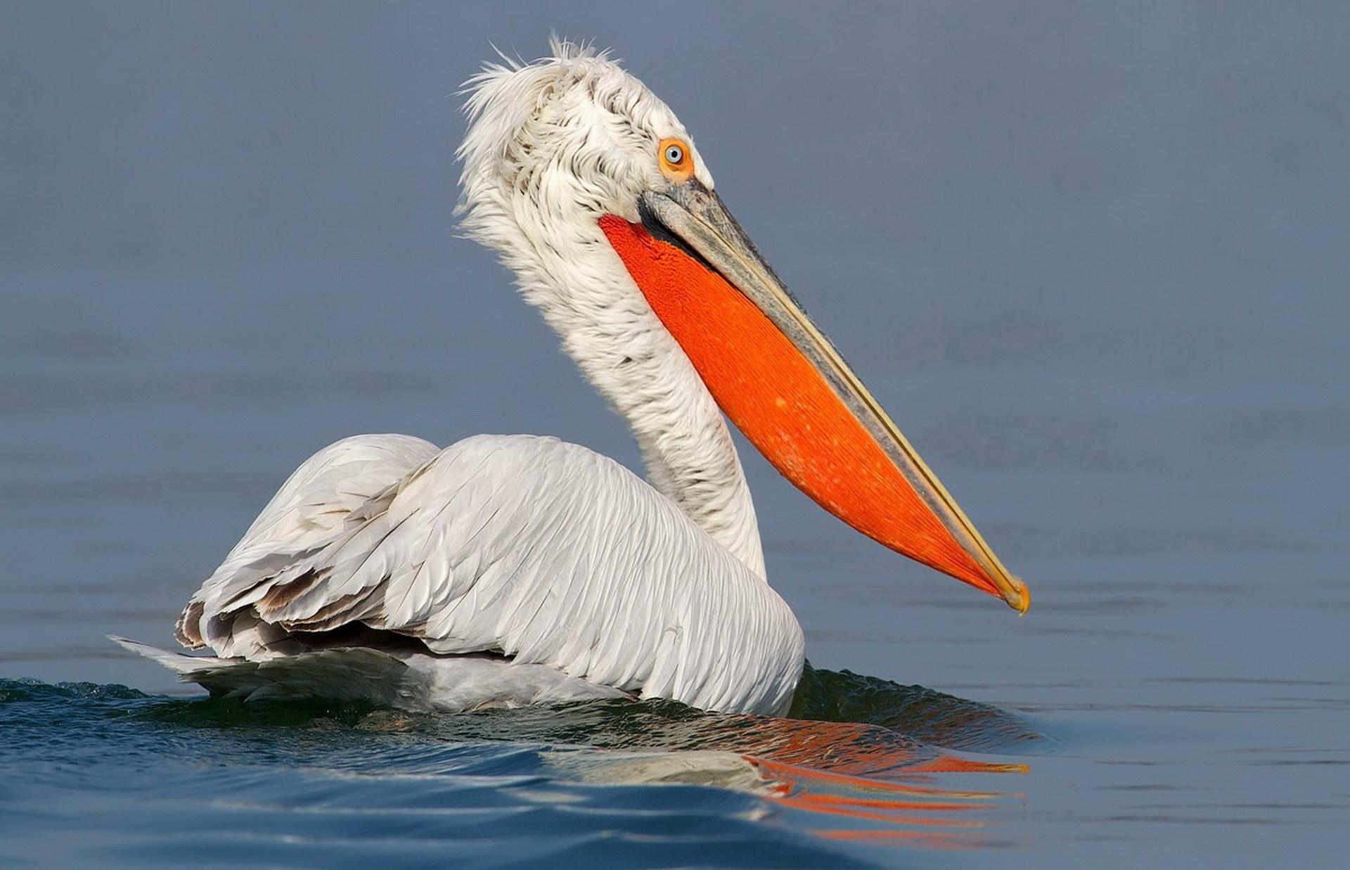 Пелікан шукає їжу