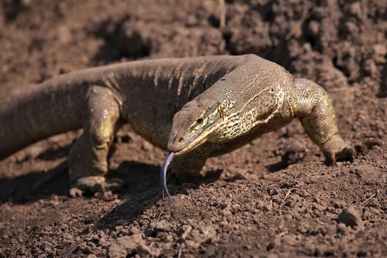 Зміїний язик