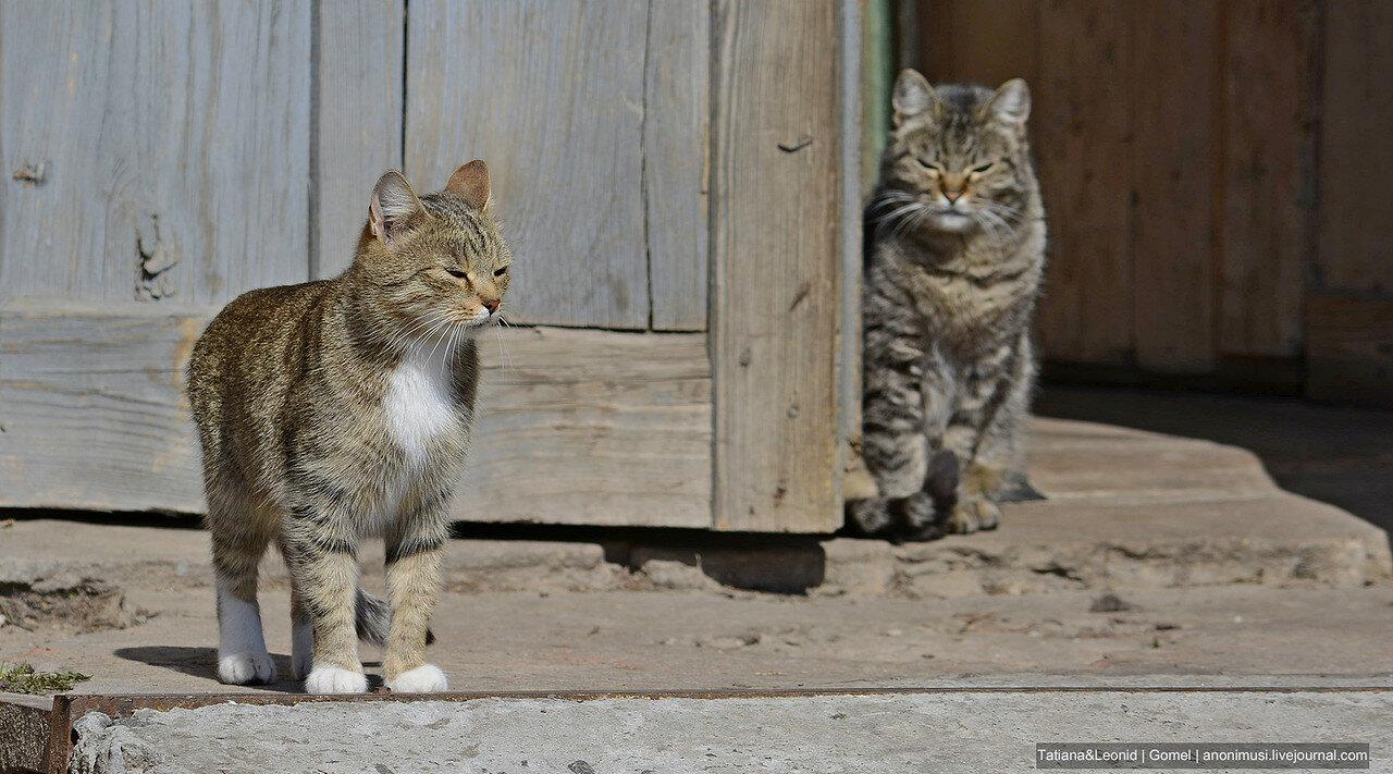 Деревенские коты