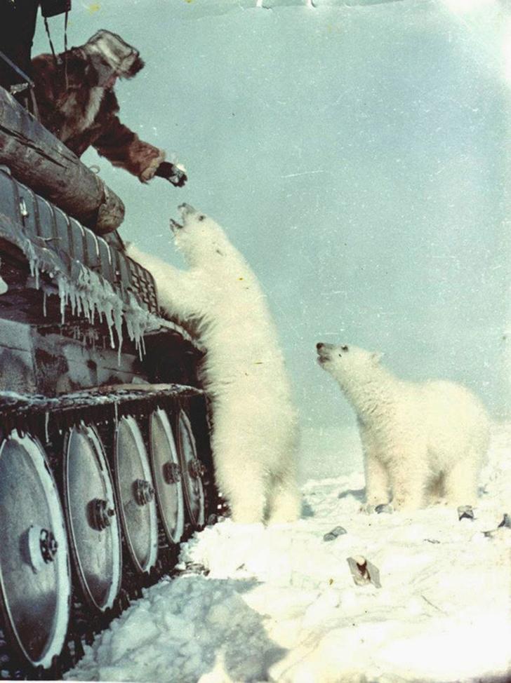 1950 год, российский танкист кормит белых медведей.