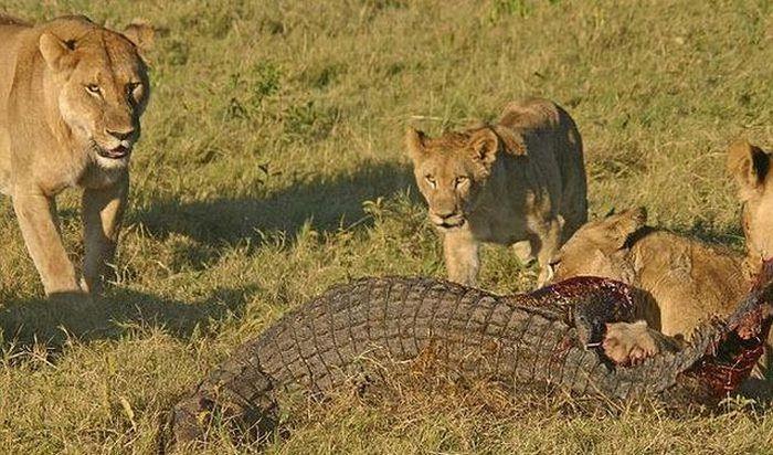 Львицы против аллигатора