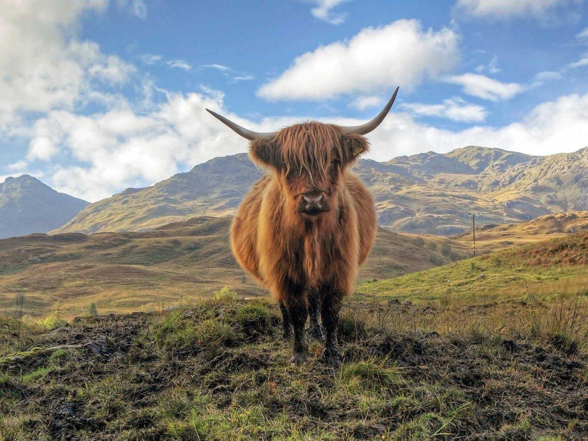 5. Мини-коровы Хайленд, гуляющие по заповеднику Троссакс.