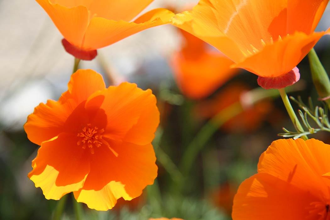 California-Poppy-Wildflower-Seedles-Seed-balls-2-3.jpg