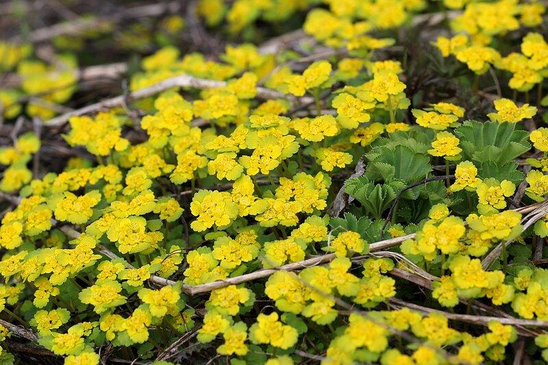 Полянка селезёночника обыкновенного (очерёднолистный, Chrysosplenium alternifolium): ранний весенний цветок с жёлтыми цветками и прилистниками