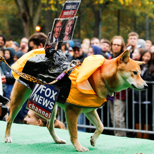 A dog dressed as Fox News channel with the pictures of Democratic U.S. presidential nominee Hillary