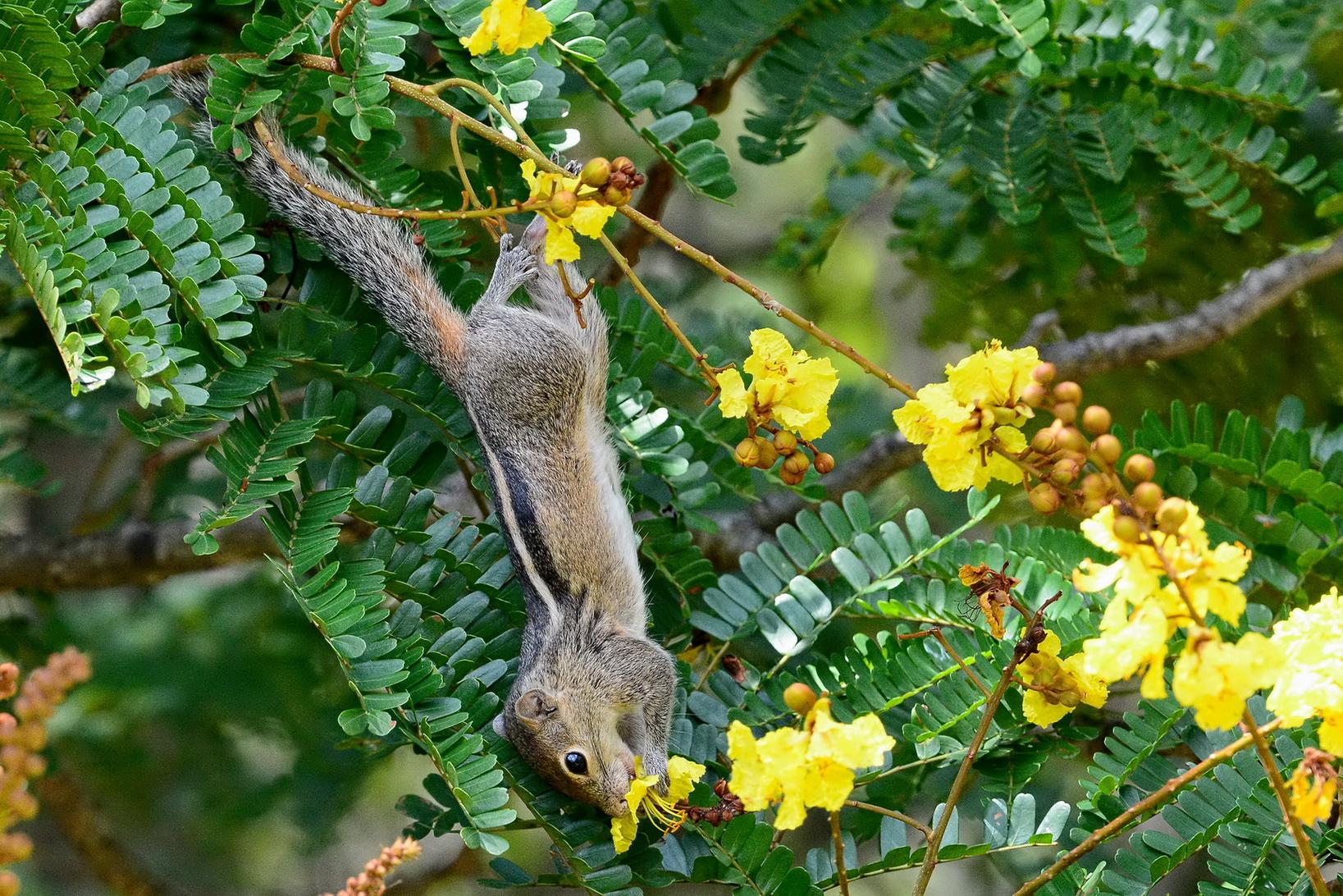 Индийская пальмовая белка, Funambulus palmarum, Indian palm squirrel