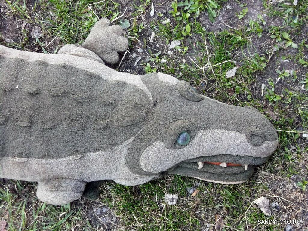 Бесхвостого крокодила выпустили погулять