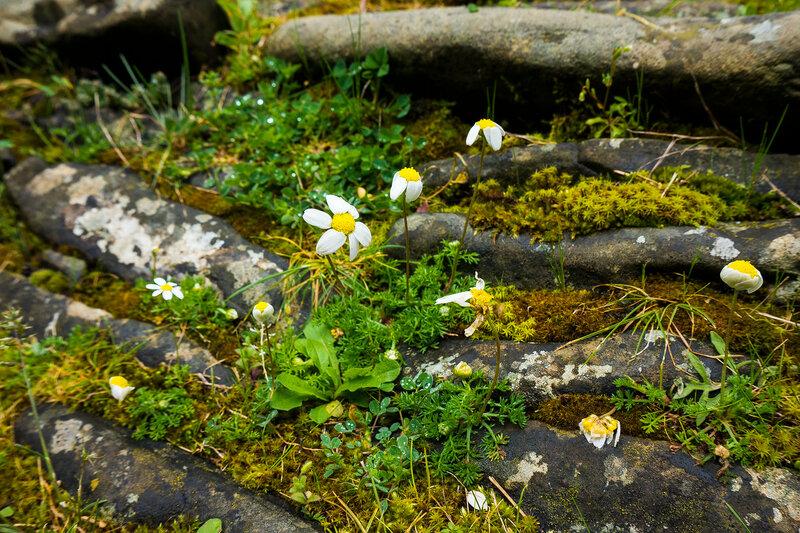 ромашки на старинных камнях