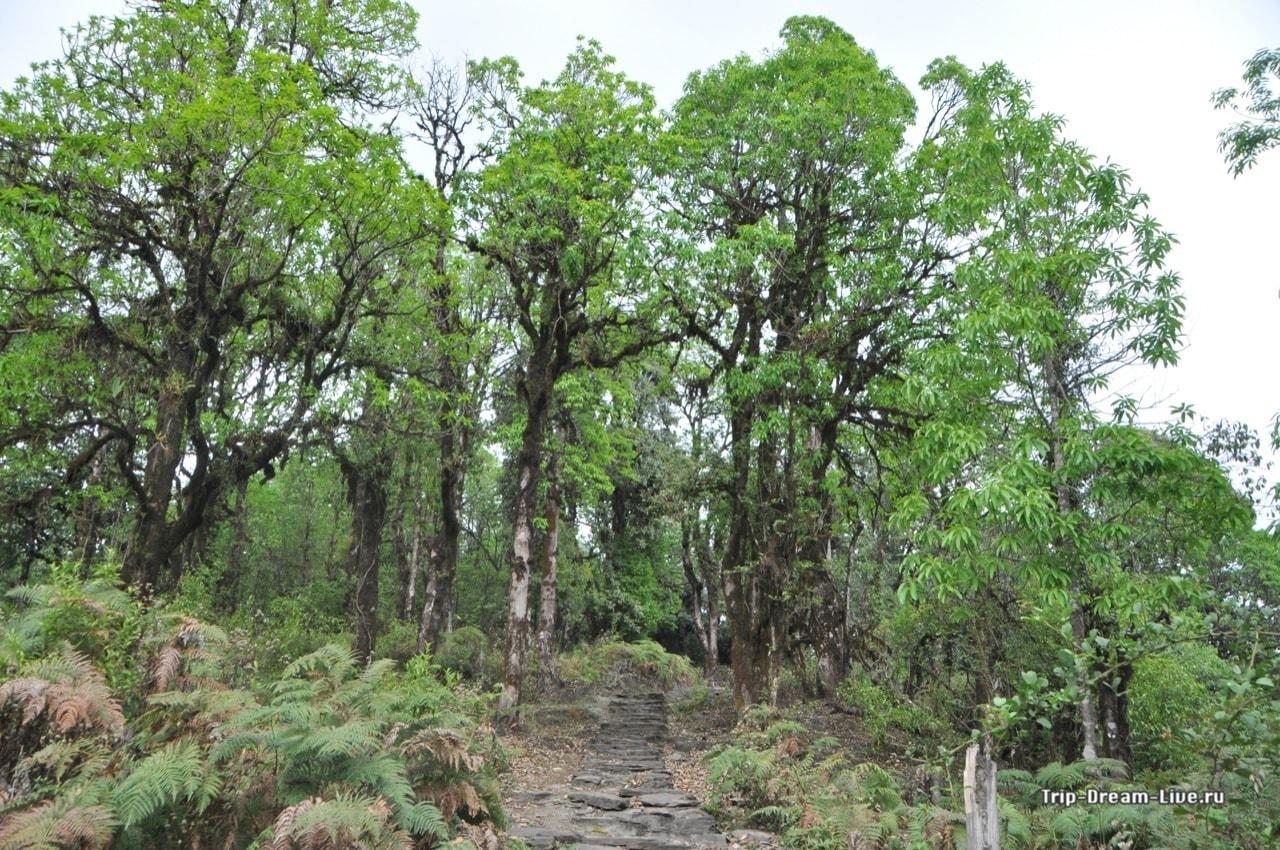 Далее дорога идет через рододендроновый лес