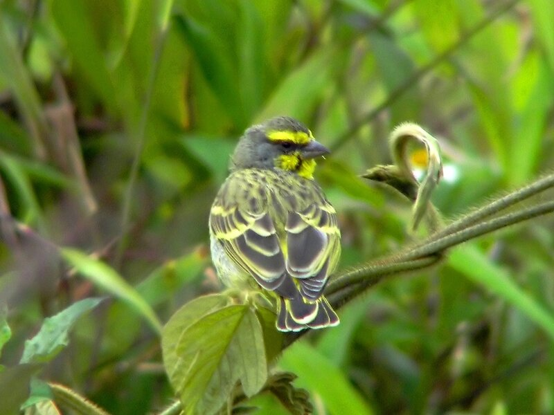 Yellow-fronted_Canary.jpg