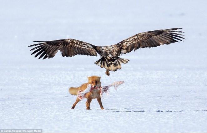 орел нападет на лиса