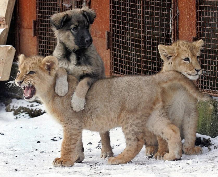 3. Львенок и кошка. Видно, насколько мощнее у будущей большой кошки лапы.
