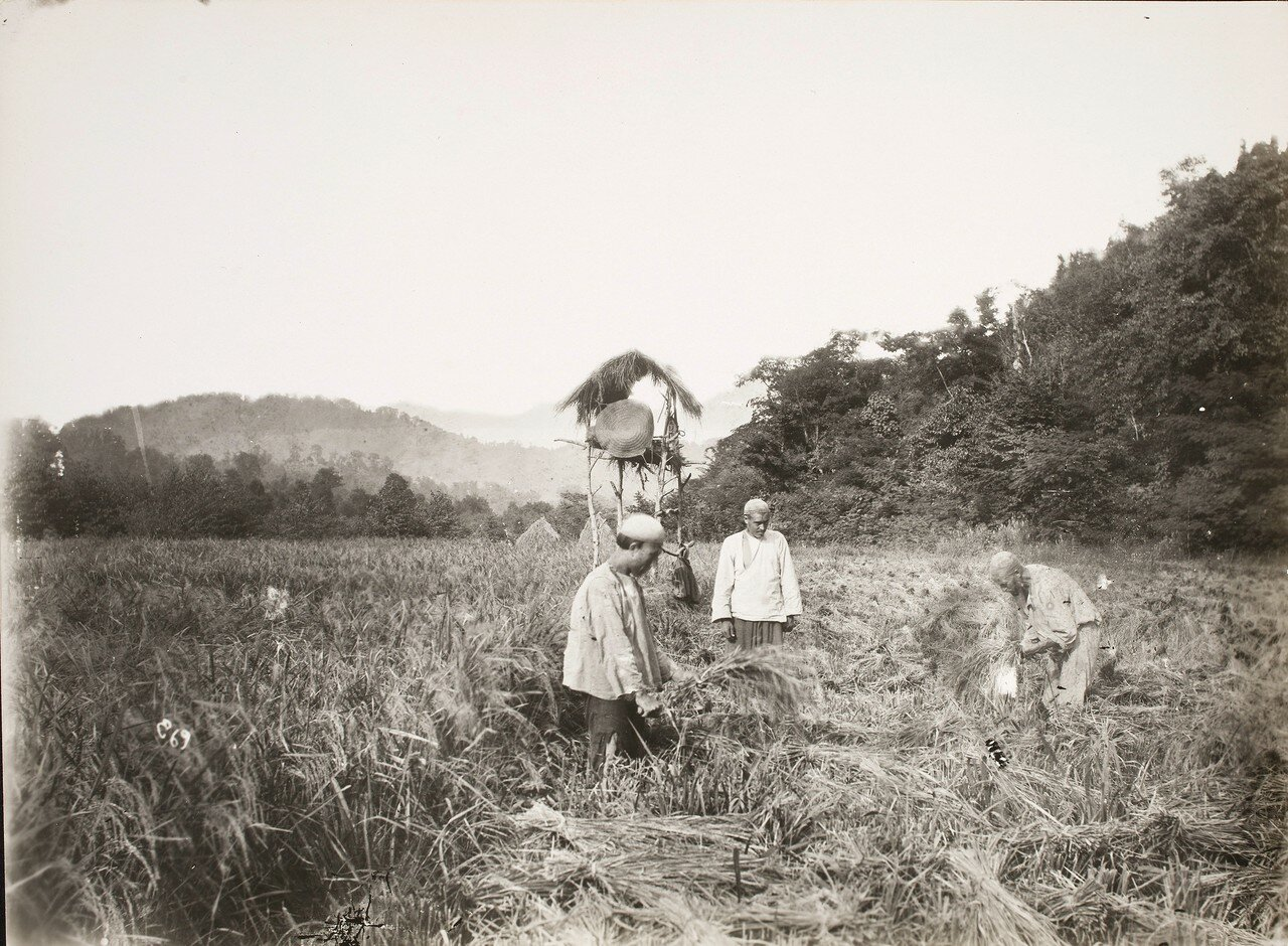 Крестьяне за уборкой риса