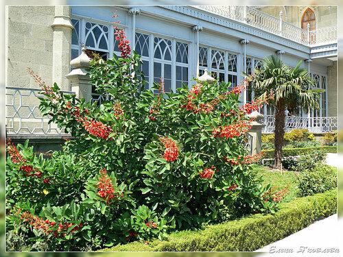эритрина (коралловое дерево)