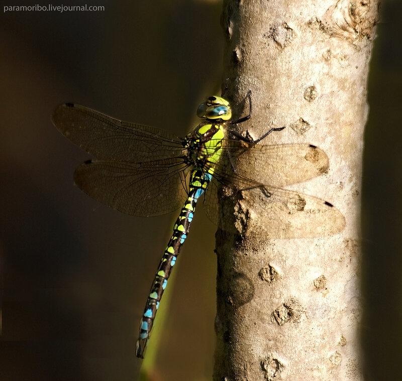 Коромысло синее - Aeschna cyanea, семейство коромысла, самец