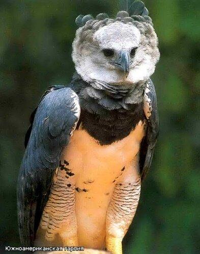 Гарпия - знаменитая птица! 0_1ff91_fa427bf1_L