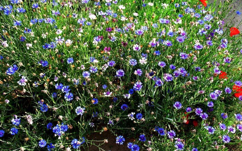 Цветы Васильки Обои рабочий стол