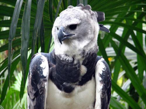 Гарпия - знаменитая птица! 0_1ff90_8b7bb07_L