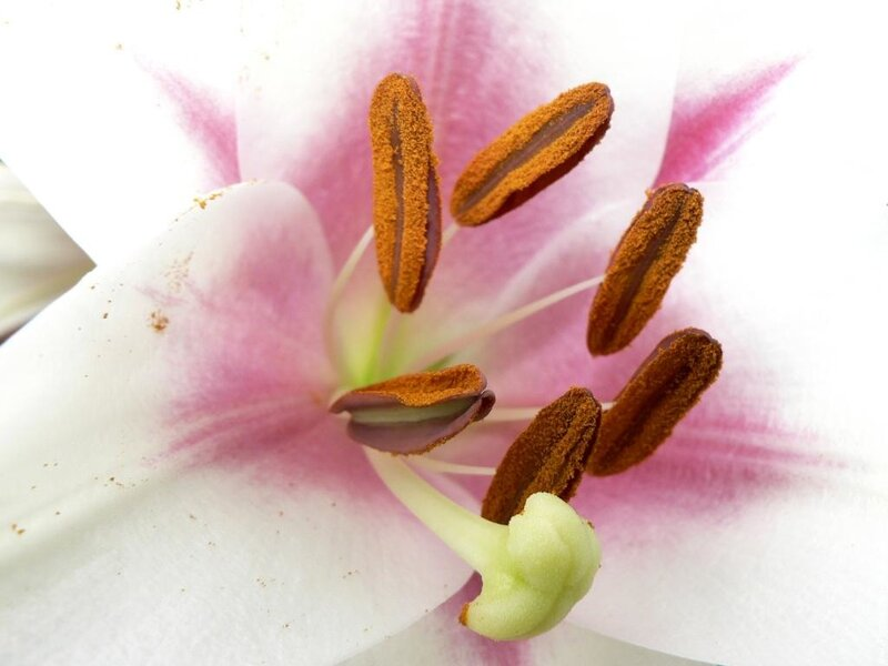 galerie-membre,fleur-lys,coeur-de-lys-blanc-2.jpg