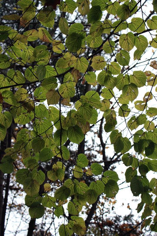 Зеленые листья липы