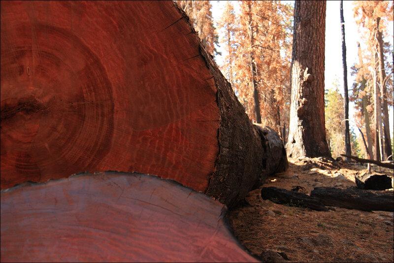 Красное дерево...