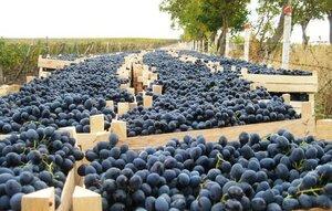 Аграрии ожидают хороший сбор винограда, но рынка сбыта нет
