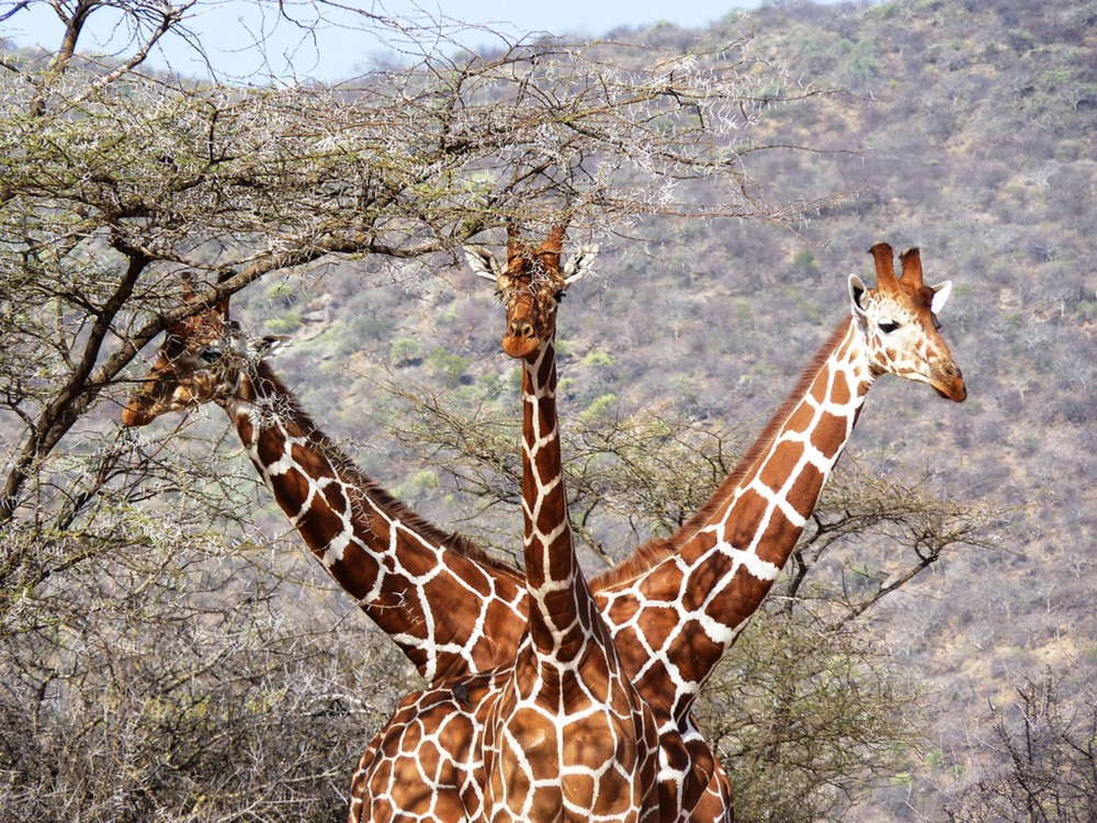 25. Трехглавый жираф.