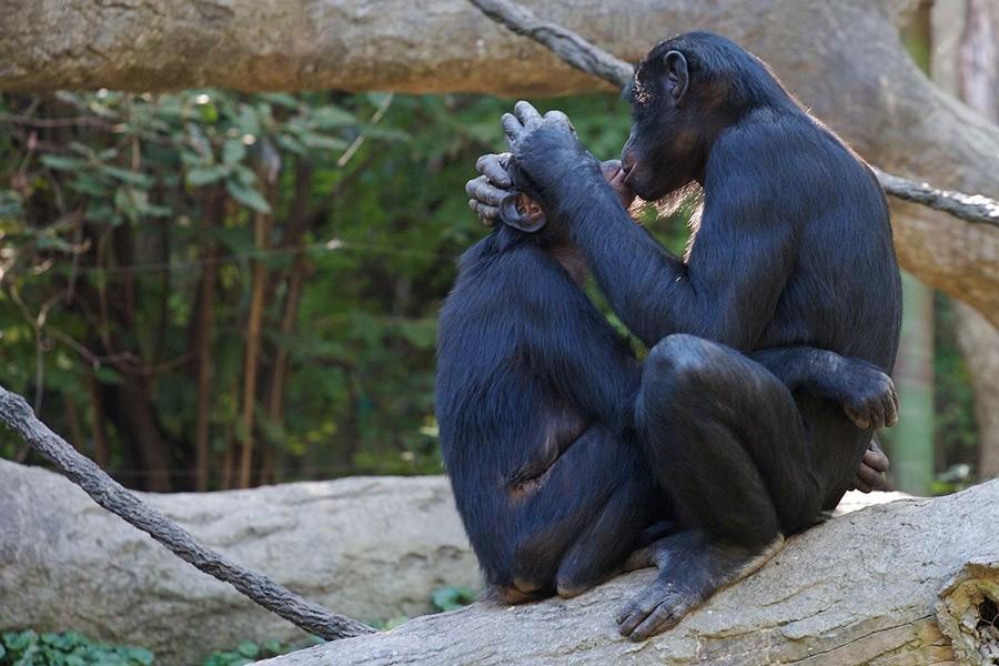Мало кто понимает всю важность прелюдий так, как бонобо. Эти приматы — одни из немногих животных, ко