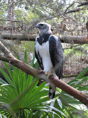 Гарпия - знаменитая птица! 0_1ff9a_d9f85c97_L